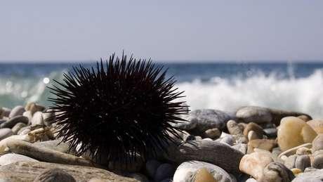 Espécies de ouriço-do-mar brasileiras não são venenosas, mas espinhos podem penetrar profundamente a pele | Foto: Thinkstock