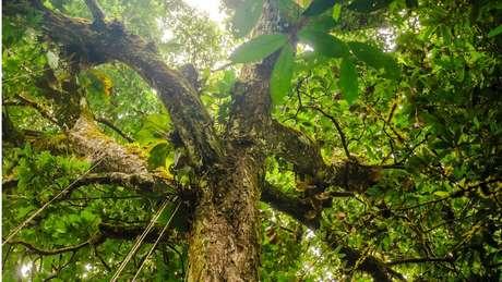 """Árvore na Amazônia: Segundo especialista, """"para que recuperação de florestas tenha chance de fazer frente às mudanças climáticas"""", passivo do desmatamento deve ser eliminado"""