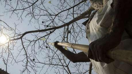 Coleta de frutos em área na Amazônia: Sementes para projeto de reflorestamento são colhidas e beneficiadas por índios e agricultores familiares | Foto: Tui Anandi/ISA