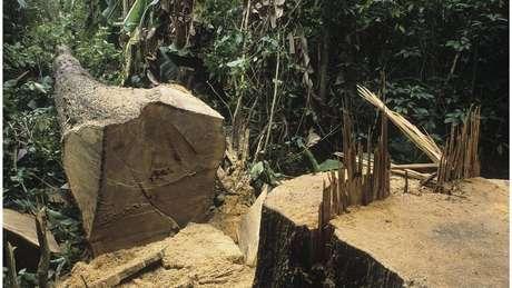 Árvore derrubada na Amazônia: Desmatamento ameaça o clima e também traz outros riscos, segundo especialistas