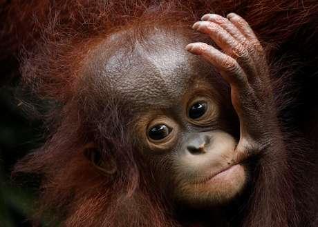Filhote orangotango fêmea Khansa, durante apresentação de recém-nascidos no zoológico de Cingapura 11/01/2018 REUTERS/Edgar Su