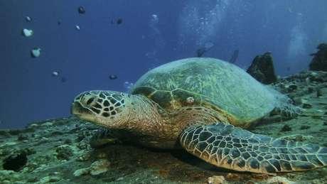 Definição do sexo das tartarugas-verde é definido pela temperatura de incubação dos ovos