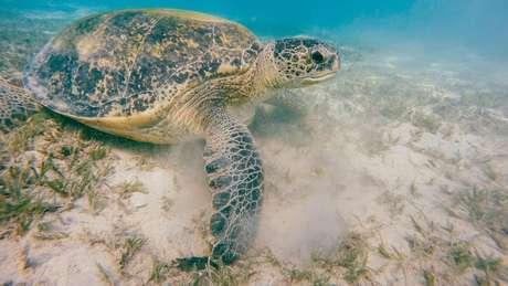 É necessário que a temperatura fique alguns graus abaixo de 29,3º C para que nasçam tartarugas macho