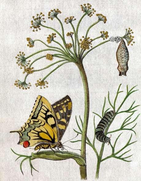 Três etapas da metamorfose, na ilustração de Maria Merian | Imagem: Science Photo Library