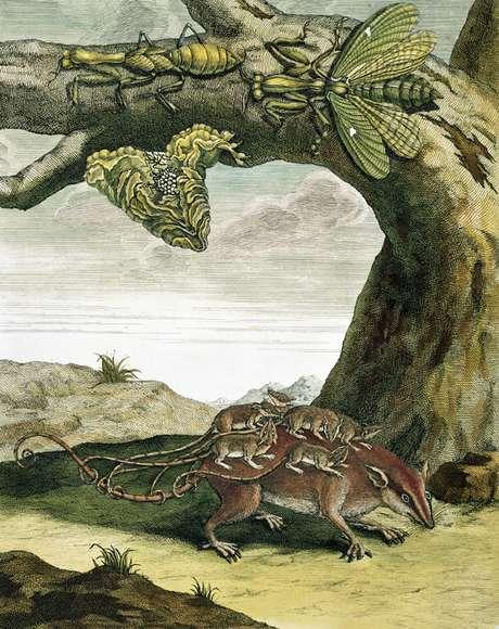 Merian ainda é pouco reconhecida por suas descobertas científicas | Imagem: Science Photo Library