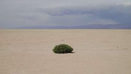 O 'cauchi' é uma das poucas plantas na área que pode suportar condições extremas, porque absorve sal do subsolo