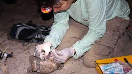 Em expedições noturnas, pesquisadores conseguiram encontrar cinco tatus-bolas | Foto: Samuel Portela