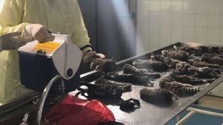 Dos 144 macacos mortos recolhidos pela Vigilância Sanitária e Controle de Zoonoses do Rio de Janeiro, cerca de 100 foram executados | Fonte: Vigilância Sanitária do RJ