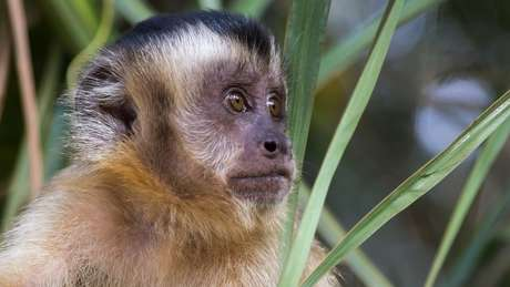 'O macaco é quase um mártir (...) Eles nos indicam onde há infecção', diz pesquisador do Instituto Oswaldo Cruz