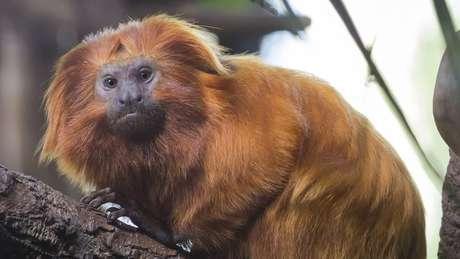 Até mico-leão-dourado, espécie ameaçada de extinção no Brasil, tem sido alvo de violência por causa do pânico e desinformação sobre a febre amarela