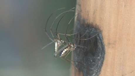 Mosquitos silvestres têm capacidade muito maior de transmitir a febre amarela | Foto: Josué Damacena/IOC/Fiocruz