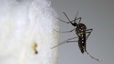 Se população de Aedes aegypti crescer, também aumentará o risco de transmissão urbana da febre amarela