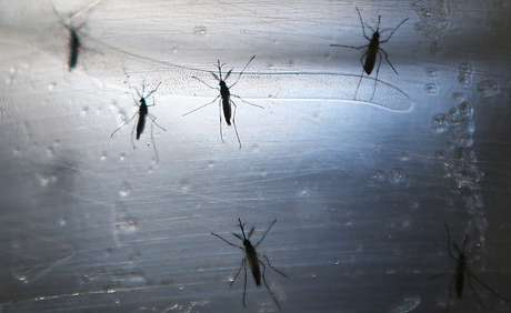 Os insetos geneticamente modificados são sempre machos e, ao copularem com as fêmeas, transmitem um gene que impede que seus descendentes cheguem à fase adulta.