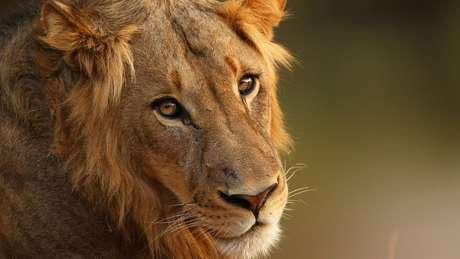 Os leões têm sido cada vez mais alvo de caça irregular na região de Limpopo | Foto: Cameron Spencer/Getty Images