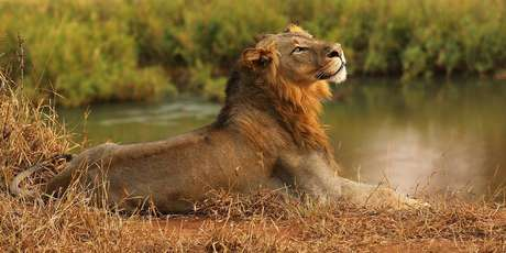 A polícia local afirma que os leões comeram praticamente todo o corpo do homem