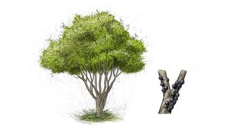 No linguajar botânico, São Paulo era um ecótono, um ponto de encontro de diferentes biomas; acima, jabuticabeira | Ilustração: Leandro Lopes de Souza