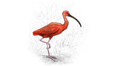Guarapiranga, onde há hoje uma represa, vem da união entre guará (garça) e piranga (vermelha), provável referência à espécie Eudocimus ruber | Ilustração: Leandro Lopes de Souza