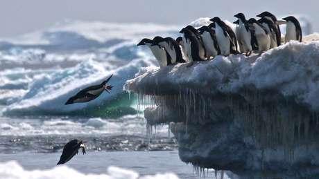 O gelo é importante para esses animais, porque foram um habitat que atrai seu alimento, o krill | Foto: R.Herman/LSU/SBU