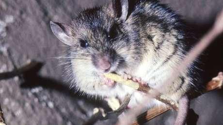 A doença é transmitida aos humanos pelo rato comum africano