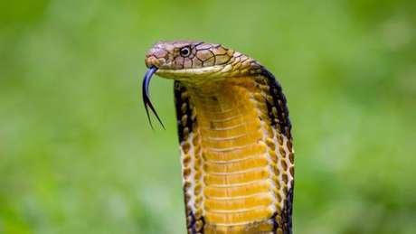 A cobra-real é uma das maiores cobras venenosas do planeta