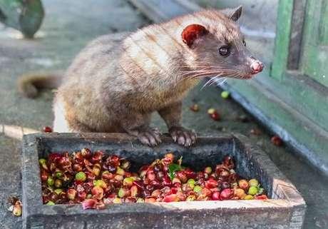 Civeta: mamífero que ingere e expele os grãos de café