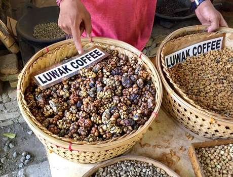 Kopi Luwak: café mais caro do mundo
