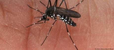 Mosquito que transmite a febre amarela