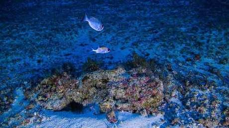Os corais da Amazônia formam o maior recife do Brasil, são encontrados de 70 metros a 220 metros de profundidade e têm potencial de abrigar novas espécies.