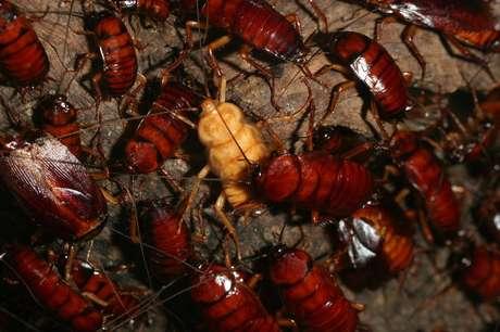 As baratas são criadas em uma fazenda operada por uma indústria farmacêutica