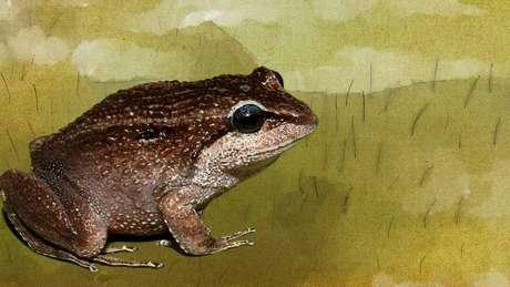 Sapo apelidado de Gorducho Cinzento, uma das espécies recém-descobertas por pesquisadores