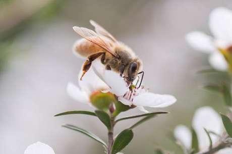 Abelha retirando néctar da flor manuka
