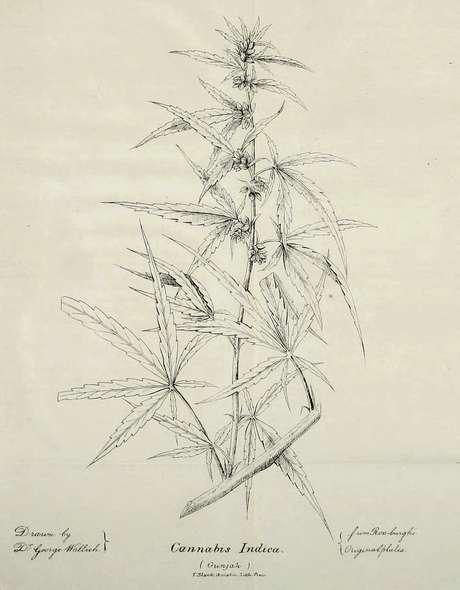 Ilustração da planta de Cannabis Indica, publicada no artigo de O'Shaughnessy, de 1839