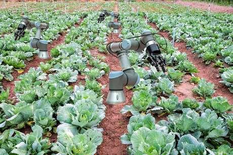 Robôs colhem couve em fazenda