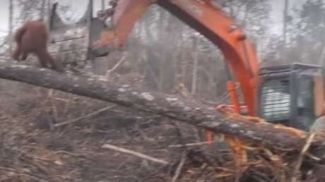 "Vídeo de orangotango ""enfrentando"" escavadeira emociona internautas"