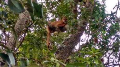 Onça-parda subiu em abacateiro após ser acuada por cães em Jaú, no interior de São Paulo