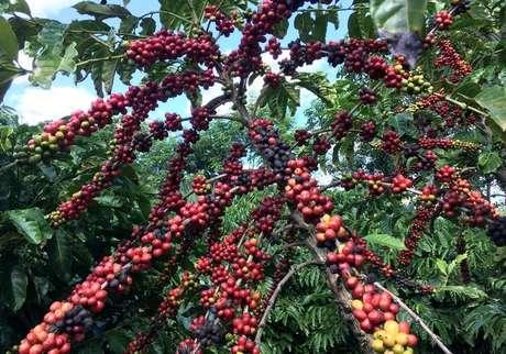 Plantação de café em São Gabriel da Palha, Espírito Santo 02/05/2018  REUTERS/Jose Roberto Gomes