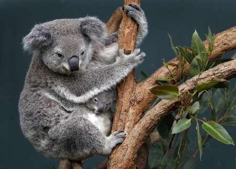 Coala e filhote em zoológico em Sydney, na Austrália 28/06/2011 REUTERS/Tim Wimborne