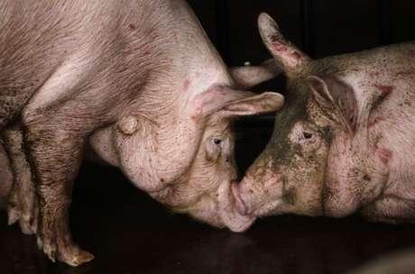 Porcos em fábrica de processamento de suínos perto de Pequim, China 19/06/2011 REUTERS/Jason Lee