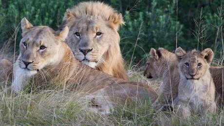 Segundo o dono da reserva, os caçadores encontraram um grupo grande de leões que vive no local - esta família faz parte do bando