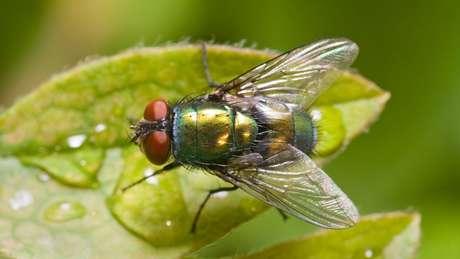 Na Europa, a espécie de mosca mais usada para esse fim é a Lucilia sericata