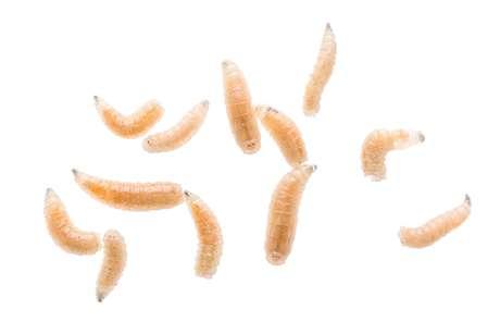 Hoje, as condições de assepsia para o tratamento com larvas são muito melhores