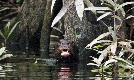 Ariranha na bacia do rio Içana, onde espécie havia desaparecido por volta dos anos 1940