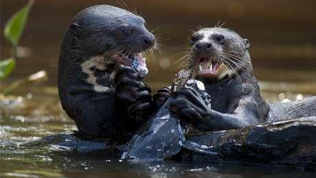 Nos últimos anos, vários moradores de comunidades na bacia do rio Içana, no noroeste do Amazonas, chegaram a topar com os mamíferos