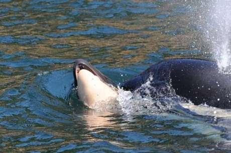 Cientistas temem que a orca deixe de se alimentar e acabe ficando doente.