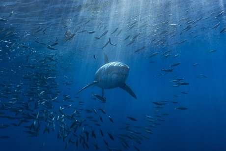 Tubarão a procura de comida