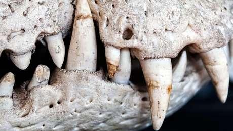 Paleontólogos lamentam a perda de amostras raras - caso de um fóssil quase completo de um pequeno crocodilo - que ainda seriam identificadas