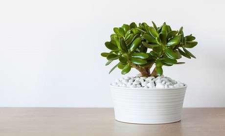 8 – A Jade é uma plantinha de fácil manutenção e precisa de luz direta apenas durante o dia.