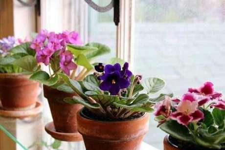 5- A violeta é uma planta ornamental muito utilizada para compor ambientes e enfeitar janelas.