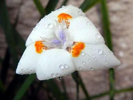 17- A Moréia é uma planta bastante resistente que tolera o frio e o calor.