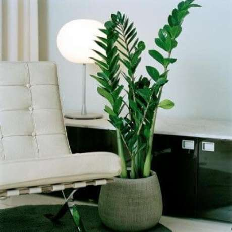 9 – A Zamioculca é muito utilizada em ambientes internos e requer poucos cuidados.